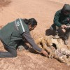 Encuentran Vicuñas Desolladas en el Salar de Tara
