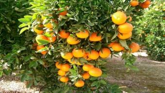 Afinan Detalles Para la Importación de Naranjas Argentinas