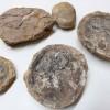Muestra de Fósiles Antofagastinos Llegó Hasta el Museo de Historia Natural de Valparaíso Para su Exhibición