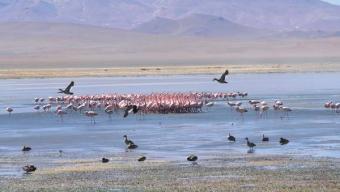 Cierre Temporal Del Salar de Tara y Aguas Calientes Impactó Positivamente la Fauna Local