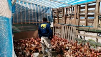Criadero Ilegal de Gallinas Albergaba 370 Aves en Campamento de Antofagasta