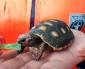 Aduanas Rescata Tres Tortugas de Patas Rojas