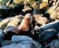 Antofagasta: Otro Lobo Marino Víctima de Anzuelos de Pesca Recreativa