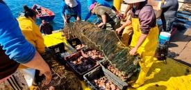 Pescadores de Caleta Cifuncho Logran Primera Cosecha de Ostiones y Ostras